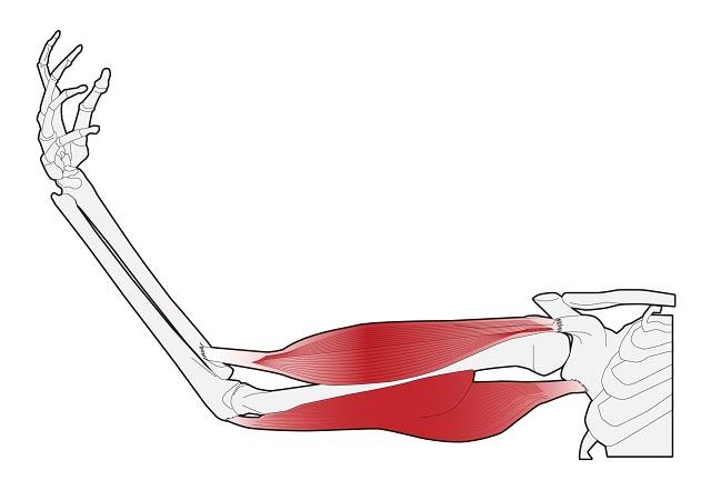 骨と筋肉の関係